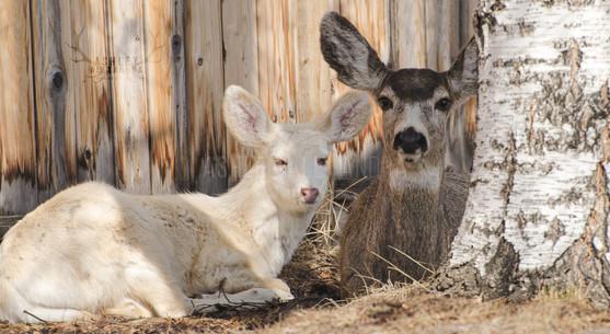 albino-deer-by-ashley-alexandra-photogra