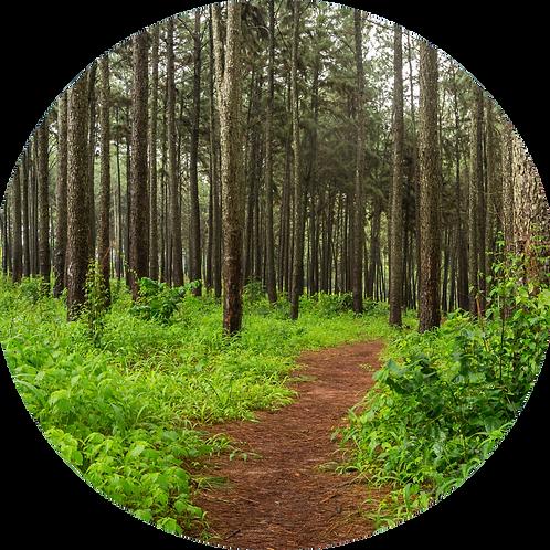 Miris borove šume