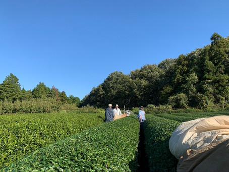 秋冬番茶の摘採始まりました。