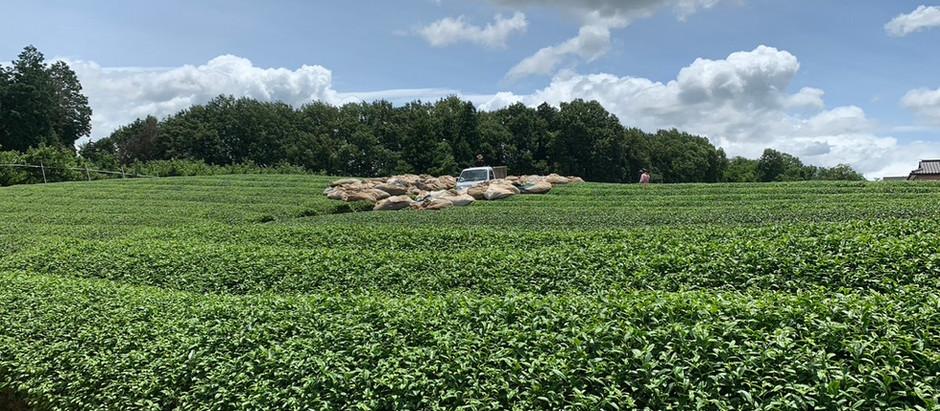 二番茶の摘採及び製茶が無事終わりました。