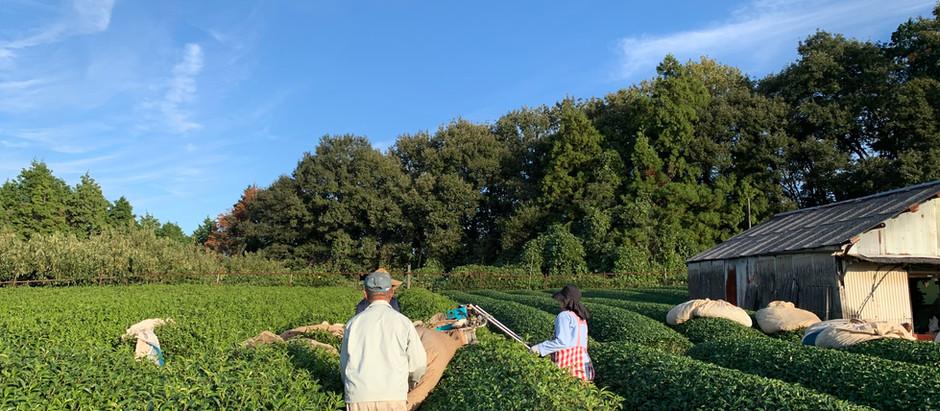 秋冬番茶の摘採が始まりました。