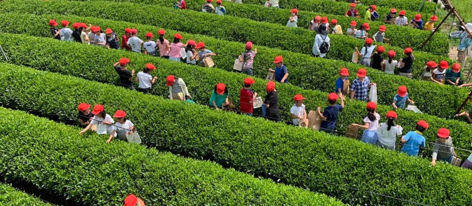 お茶摘み体験、お茶作り体験