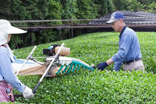 お茶摘みの様子 日比野製茶