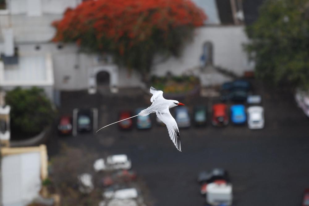 Tropic Bird.jpg