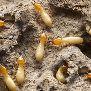 Six Things That Are Bringing Termites Into Your Home