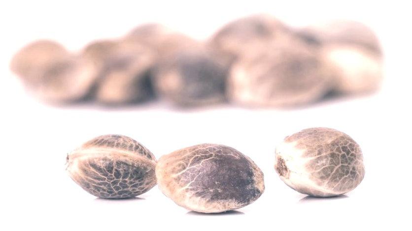 Semi Cannabis Carmagnola