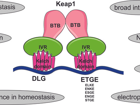 Do you know that Keap1 not only represses Nrf2? - an update.