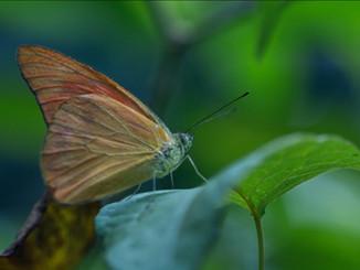 Motýl - Malajsie