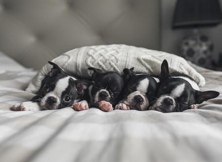 Bostonci - štěněcí budoir!