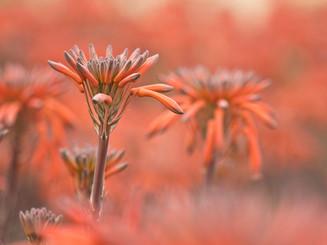 Květena Korsiky