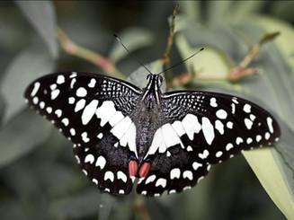 Motýl Malajsie