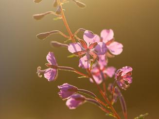 Letní květena