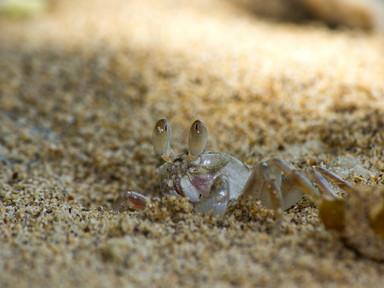 Krabí mimikry