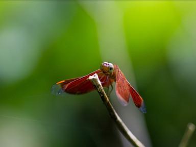 Vážka v Malajsii