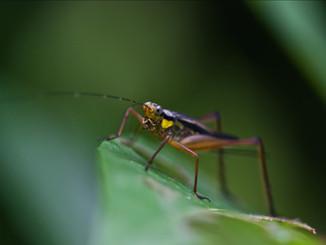 Malajsie kobylka