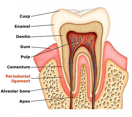 Tooth_Structure.jpg