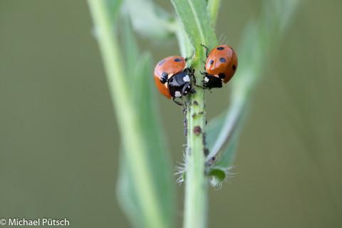Marienkäfer und Blattläuse_MGL1367.jpg