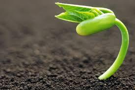 Редис может вырасти в лунном грунте