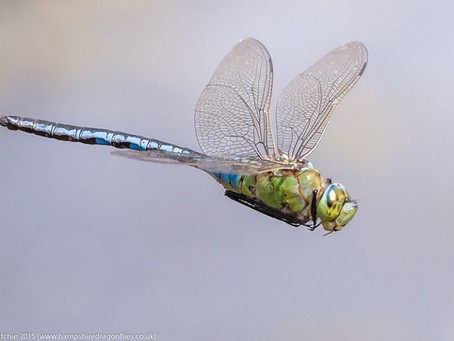 Essential Insects