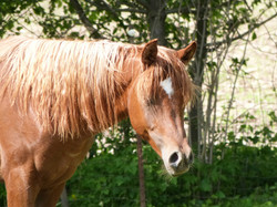 NW Azie Amir, Straight Egyptian Arabian stallion