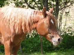 NW Azie Amir, Arabian stallion