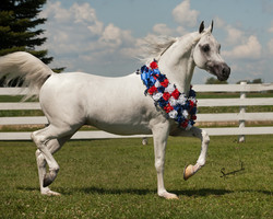 Arabest Samir, Straoight Egyptian Arabian stallion