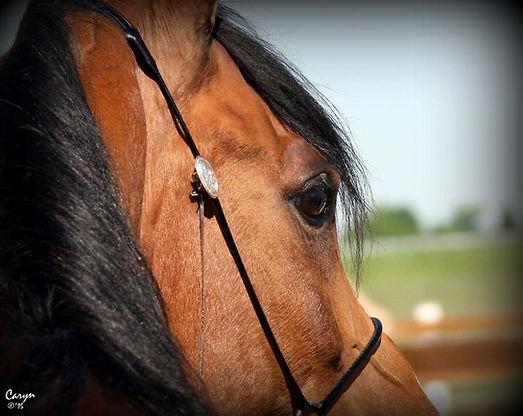NW Nevaeh Streaight Egyptian Arabian mare