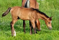 NW Shakir Samir, Straight Egyptian Arabian colt