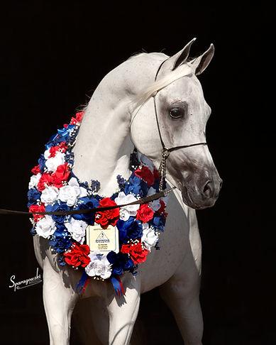 Arabest Samir, Straight Egyptian Arabian stallion