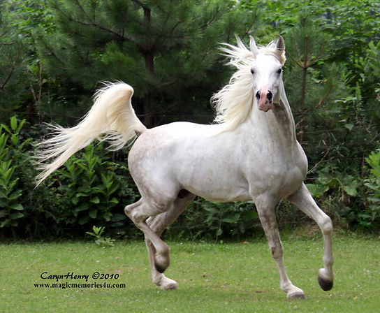 El Shuja Wahid, Straight Egyptian Arabian stallion