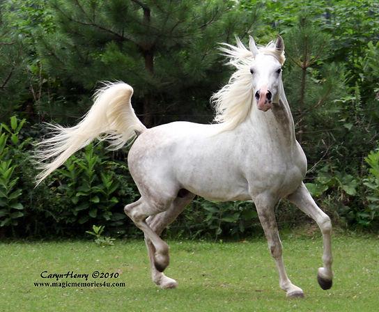 El Shuja Wahid, Straight Egyptian Arabian stallion