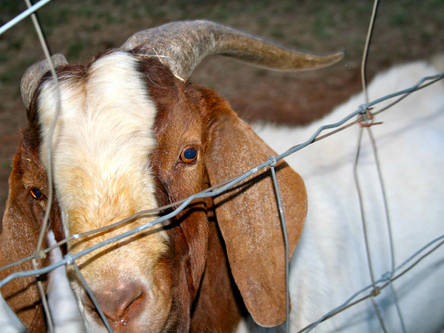 9. Linkee and the Killer Goat