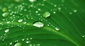 water-leaf-sm.jpg
