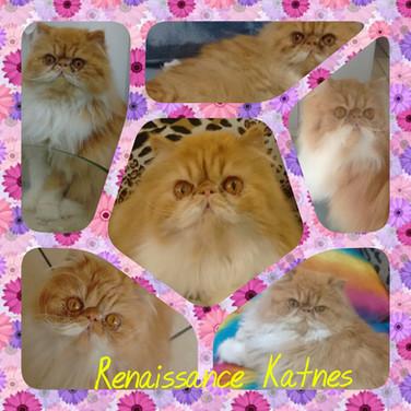 Renaissance Katness PER d 03 22 - Persa red Bicolor S: BR* Spazzio Fellini Banjo D: BR* Firenso Carmella