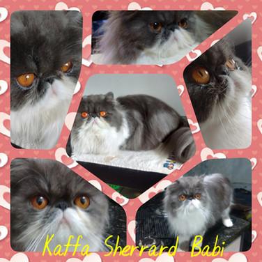 Kaffa Sherrard Babi PER as 03 - Persa blue smoke bicolor S: RU* Ark Star Czar D: BR* Bless Kellyas Johanna