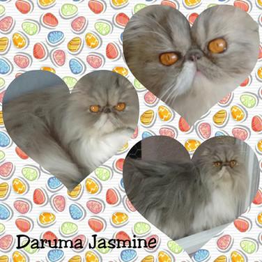 Daruma Jasmine PER a 03 - Persa Blue bicolor S: BR* Daruma Bolt D: BR* Aruak Brownie