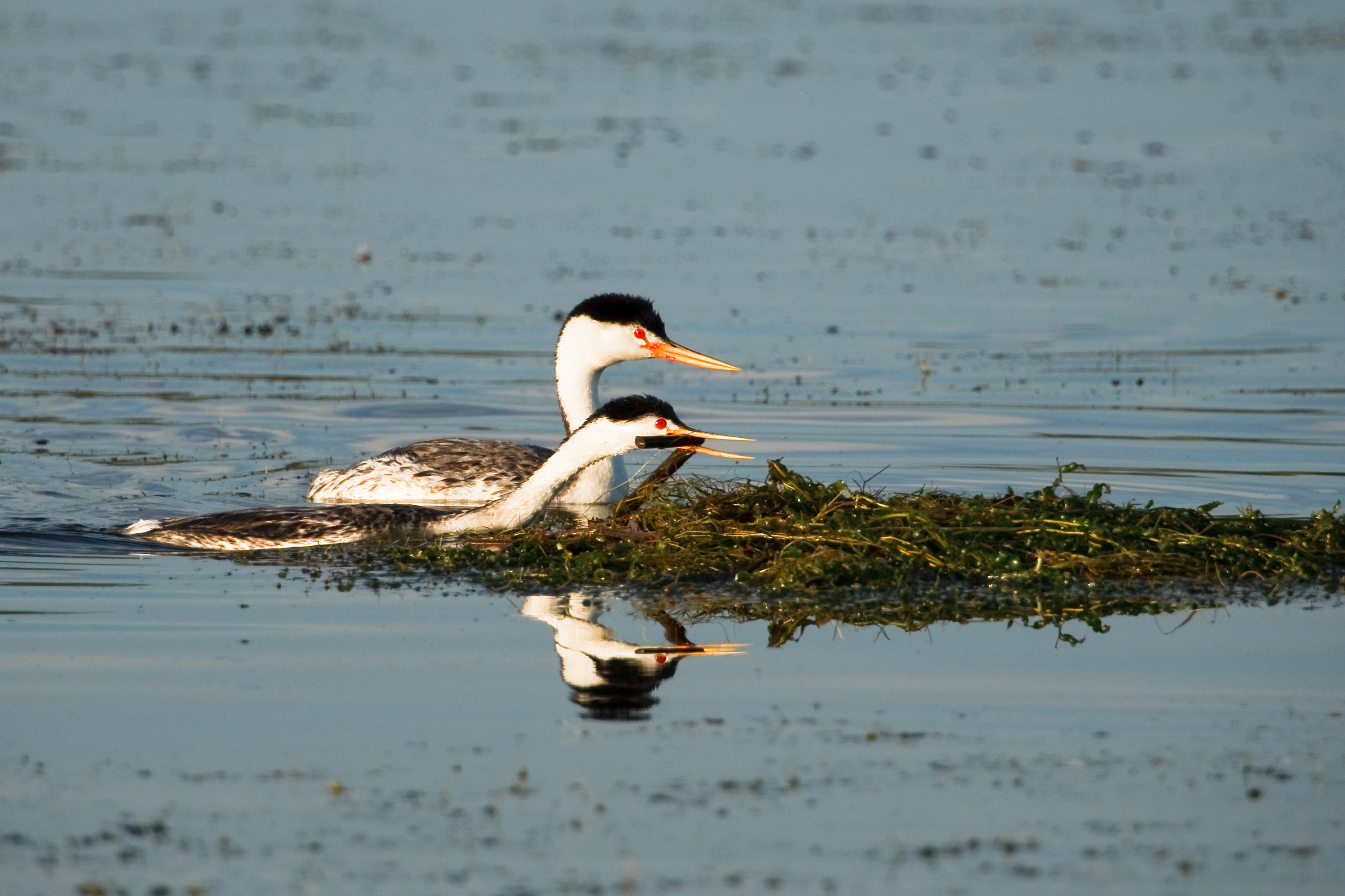 Nesting Pair of Clark's Grebes