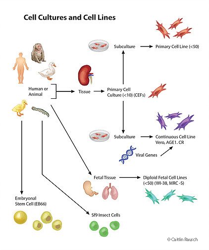 Cell Cultures and Cell Lines