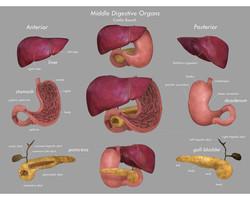 Middle Digestive Organs