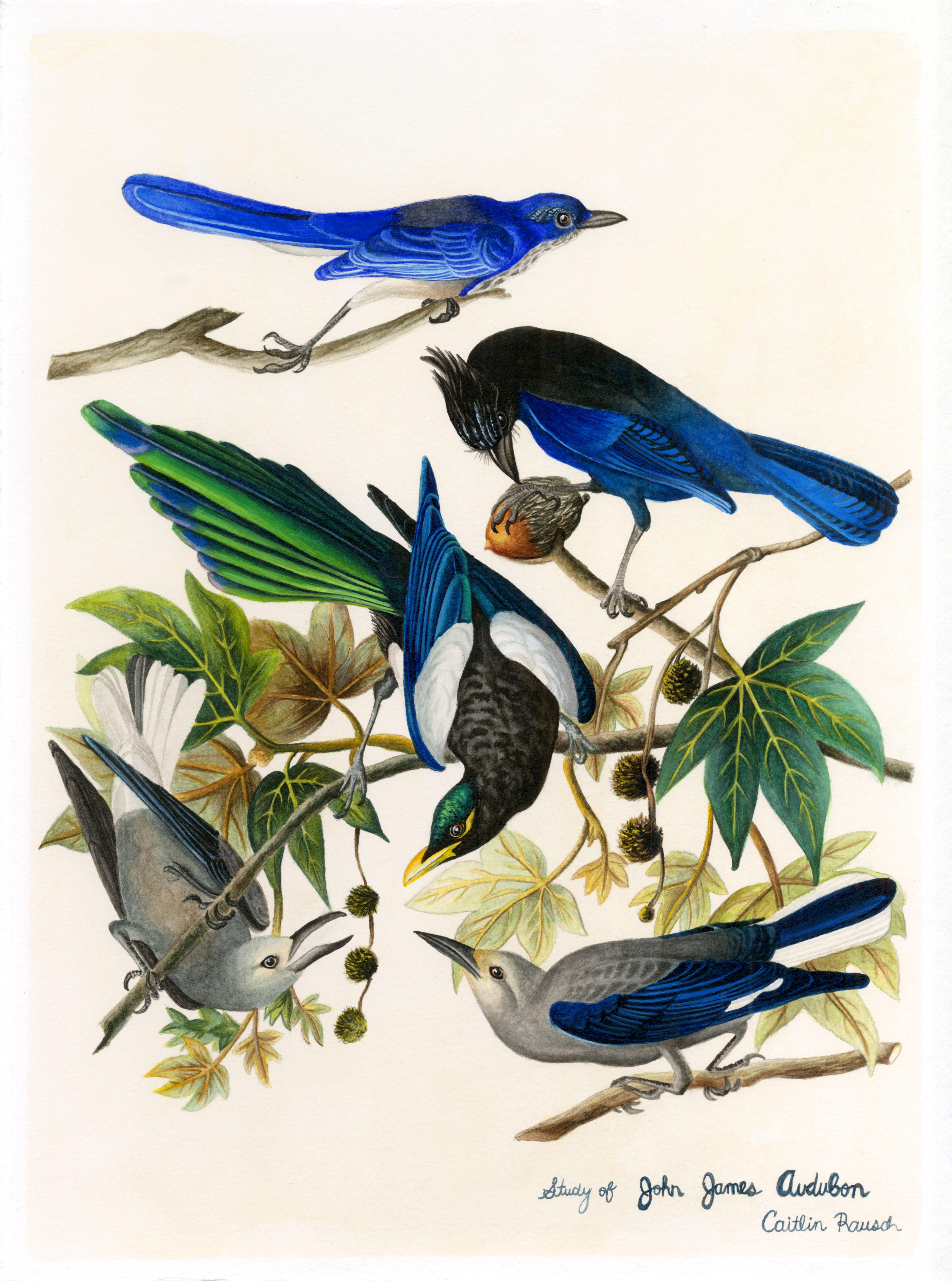 Audubon Study