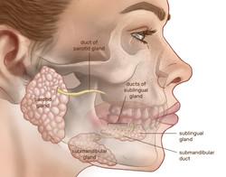 Major Salivary Glands