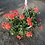 Thumbnail: Ivy Geranium Hanging Basket