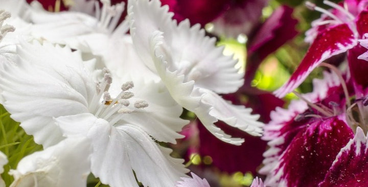 Annual Dianthus (Pinks)