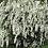 Thumbnail: Spirea - Renaissance Bridal Wreath