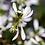 Thumbnail: Euphorbia
