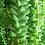 Thumbnail: Burro's Tail (Sedum morganium)