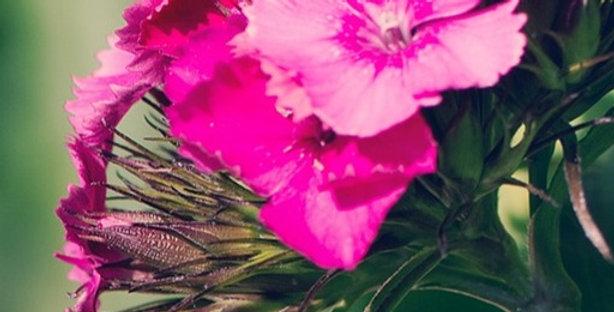 Perennial Dianthus (Pinks)