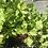 Thumbnail: Celery