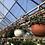 Thumbnail: Fuchsia Hanging Basket