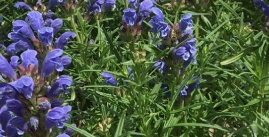 Indigo Blue Dragonhead